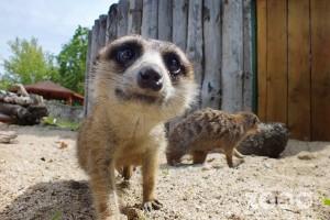 suricate curioase