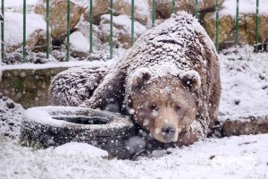 ursul iarna